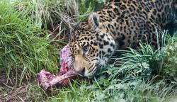6382   Leopard feeding in grass