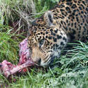 6382   Leopard feeding in grass