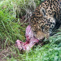6406   Leopard eating a carcass