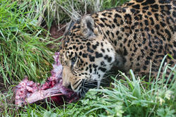 6383   Leopard gnawing on a bone