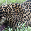 6270   A leopard eating