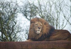 6384   Proud lion in captivity