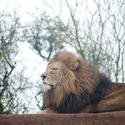 6271   Proud male lion