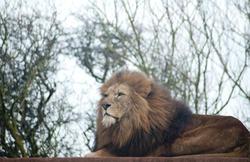6385   Proud male lion