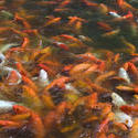 6409   Pond teeming with koi carp