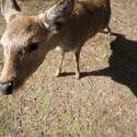 5963   nara deer