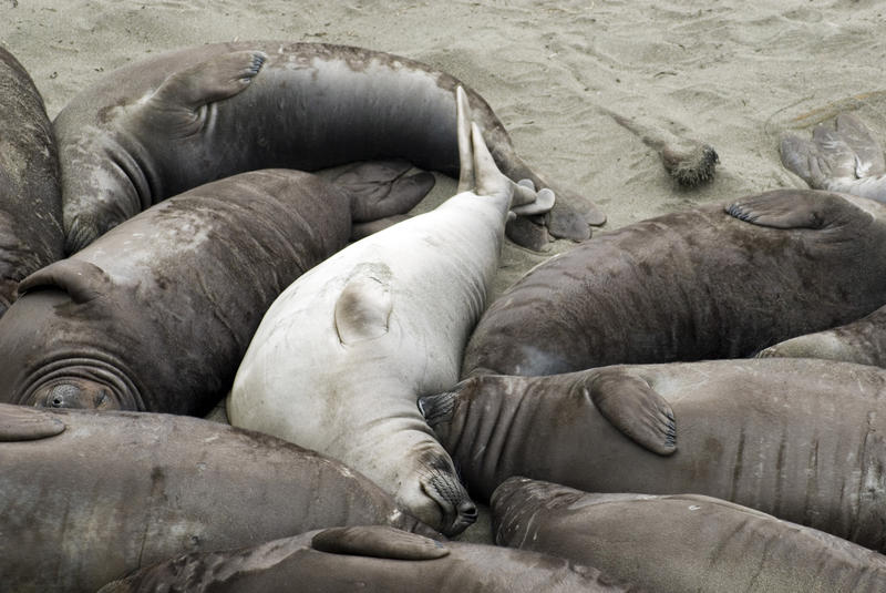 dozens of seals laying close together on a beach near point piedras blancas
