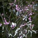 6086   Omikuji blossom tree