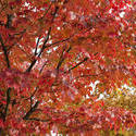 5170   Colourful Red Autumn Foliage