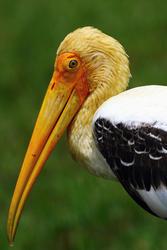 5620   Painted Stork