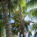 6327   Coconuts growing in a palm tree