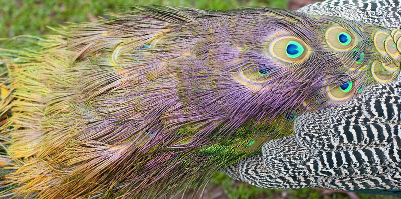 Closeup detail of the long colourful coverts, or tail, of a peacock with the distinctive eye pattern used to attract females during courtship