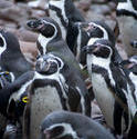 6360   Group of Humbolt penguins