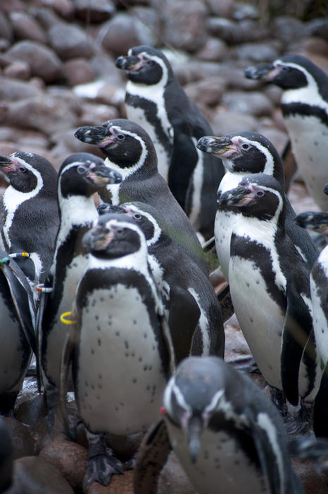Group of humbolt penguins from South America, a flightless aquatic bird with flippers and distinctive black and white markings