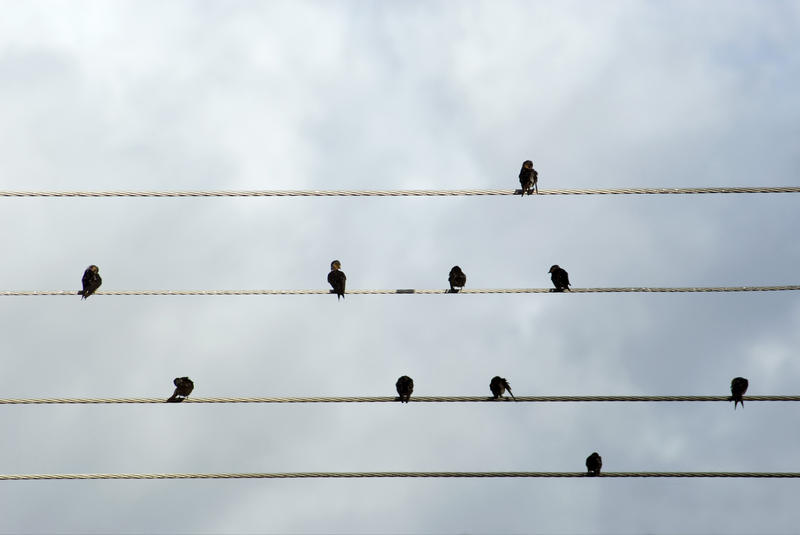 Flock of birds perched preening on electrical wires silhouetted against a cloudy sky