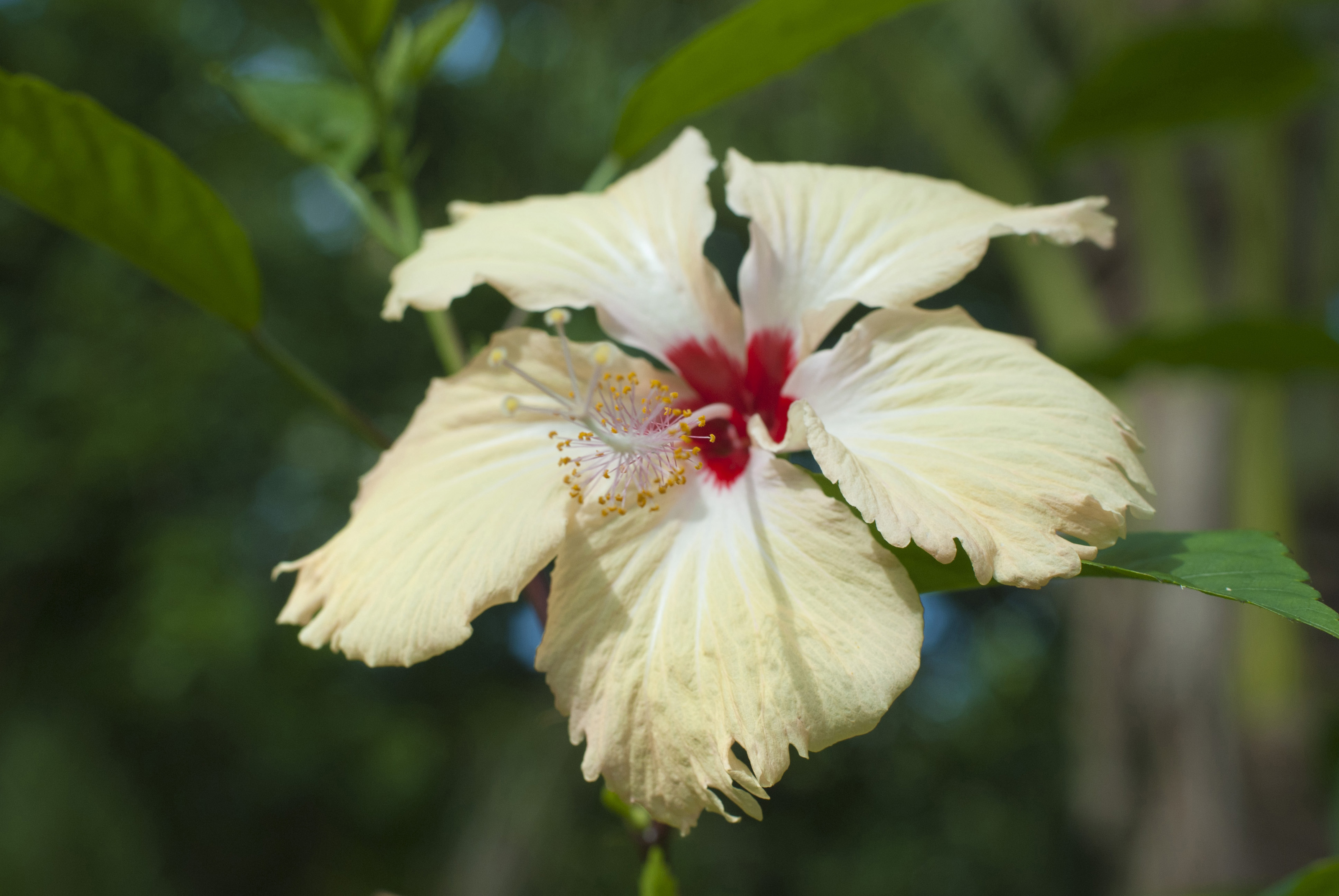 Hibiscus Are Very Beautiful With Yellow And Red 79