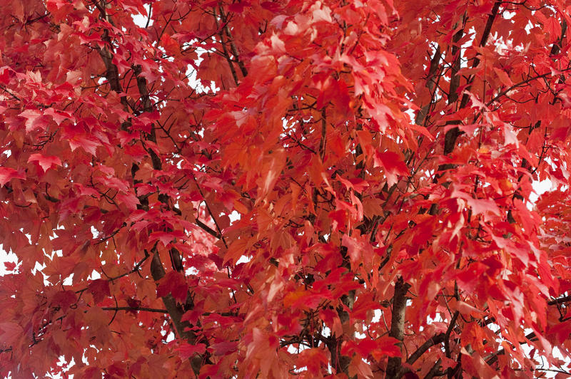 5172   Red Autumn Leaf Background