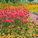 5250   red tulips mainau