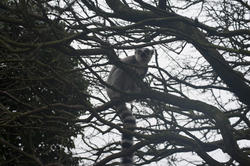 6386   Ring tailed lemur in tree