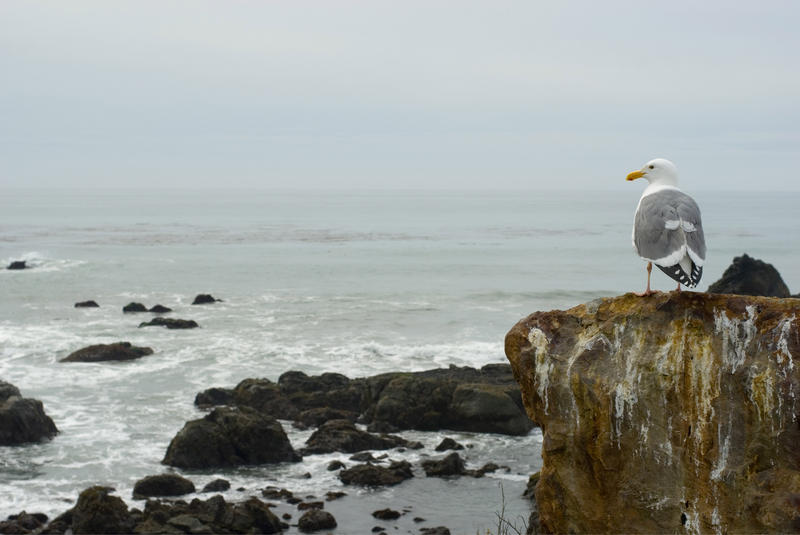 a seagull looking out to the pacific ocean off the california coast