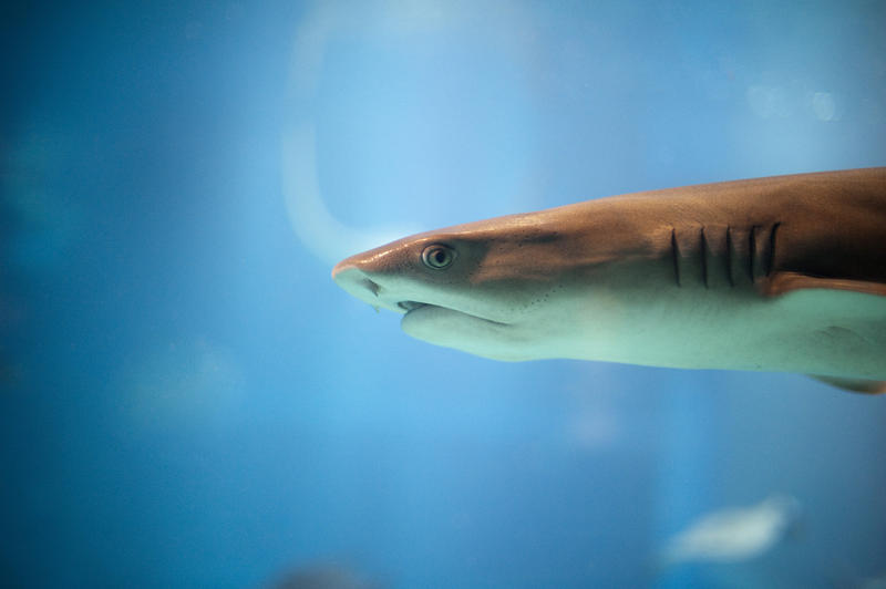 Closeup of the head of a predatory shark with focus to the eye as it swims past the viewing window in a marine aquarium with copyspace