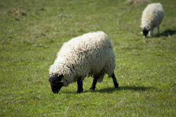 6387   Woolly sheep with thick fleece