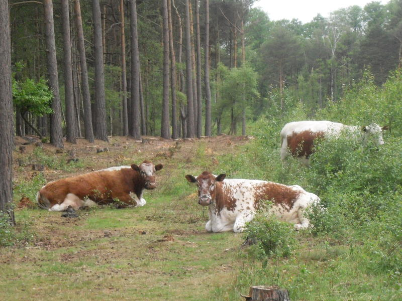 <p>Rare breed of cattle in the pine&nbsp;woods&nbsp;near Fleet Hampshire England,</p>