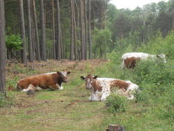 5267   sitting cows