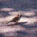 7245   sparrow