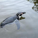 6276   Humbolt penguin swimming in water