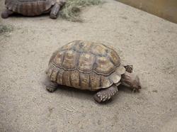 6411   Tortoise feeding in captivity