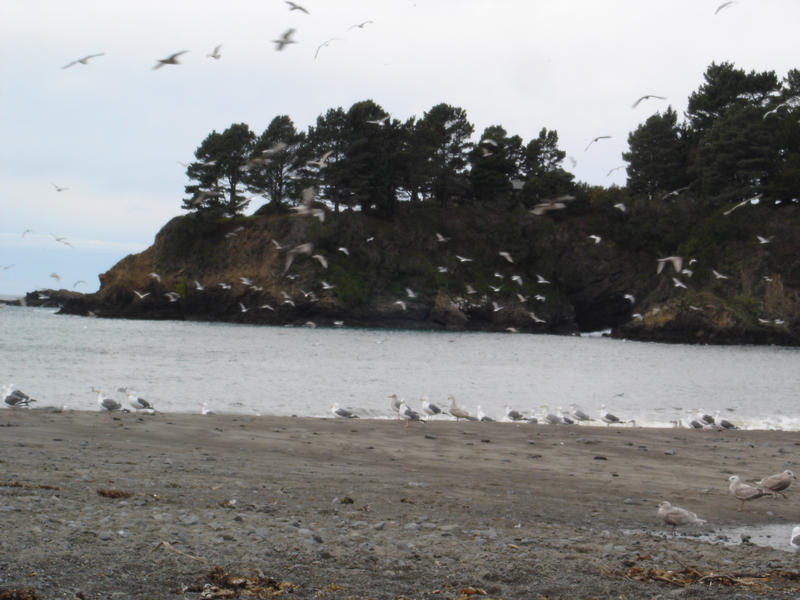 a flock of gulls on the north california coast