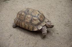 6388   Tortoise walking on dry ground