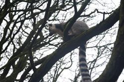6412   Ring tailed lemur, Lemur catta