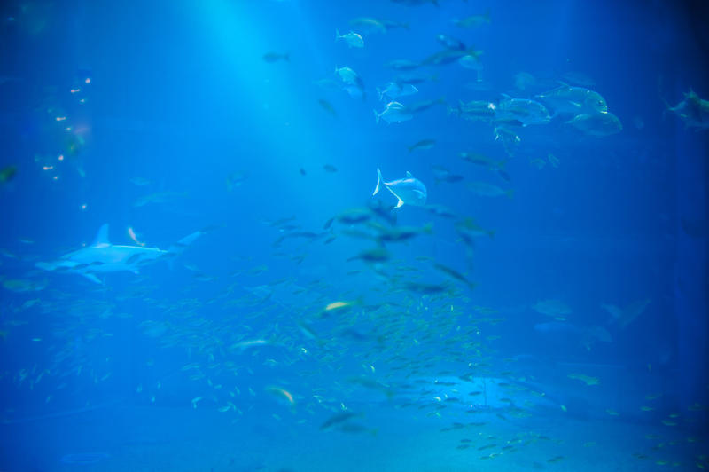 Trevally or jack fish swimming underwater in a large saltwater aquarium viewed through a public viewing window