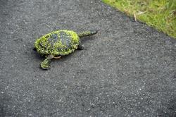 6389   Eastern long neck turtle