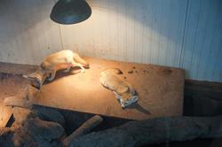 6413   Vulpes zerda in captivity