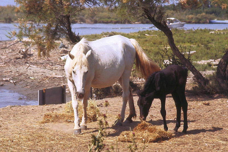<p>White mare with black vole, Camarque 1986 (originally slide)&nbsp;</p>