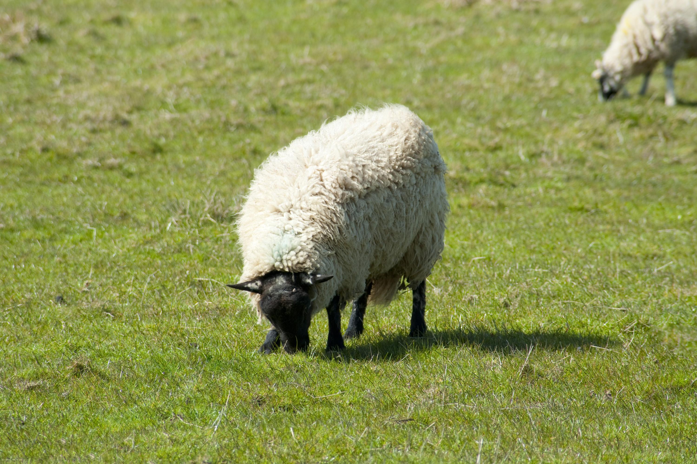 White sheep - photo#23