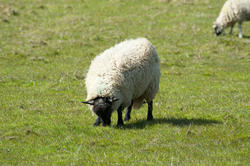 6391   Woolly sheep grazing in pasture