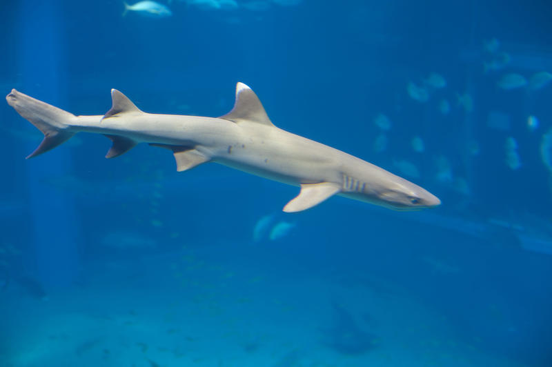 White tip reef shark, a member of the requiem sharks which generally hunts at night, swimming underwater in a marine aquarium exhibit