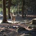 6145   deer in the woods