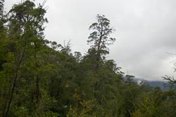 5909   tasmanian woodland