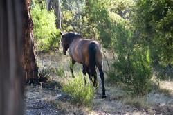 6415   Horse walking away
