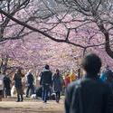 6147   yoyogi park blossom