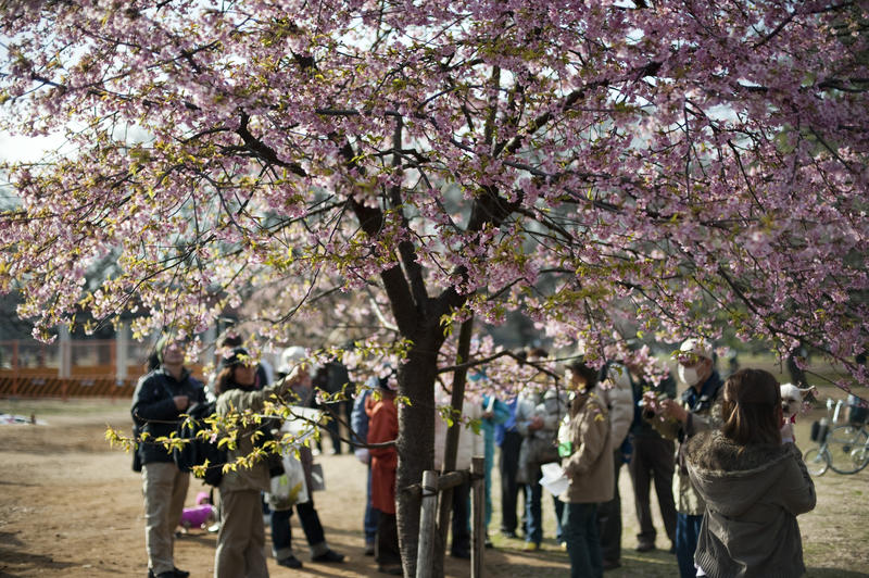 people enoying the annual blossom flowering in Yoyogi Park, Tokyo, Japan