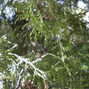8149   appeared through coniferous tree