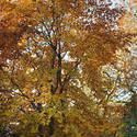 10954   Autumn or fall tree