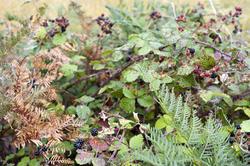 10955   Blackberries growing in a hedgerow