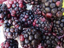 10603   Autumn harvest of wild blackberries